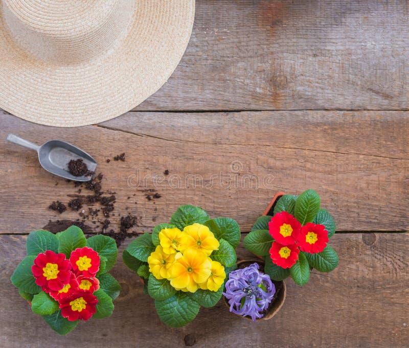 报春花樱草属寻常,黄色和红色庭院花,盆,工具,春天从事园艺的明信片概念 免版税图库摄影