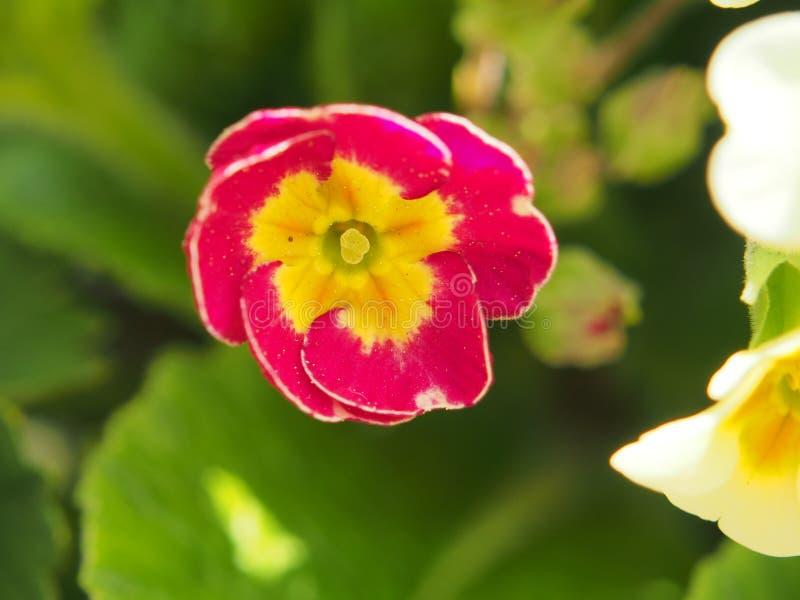 报春花的被张开的芽 瓣红色与光是flashin 免版税图库摄影