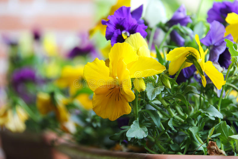Download 报春花 库存照片. 图片 包括有 红色, 横向, 庭院, 季节性, 颜色, 自然, 季节, 花卉, 橙色 - 59111094