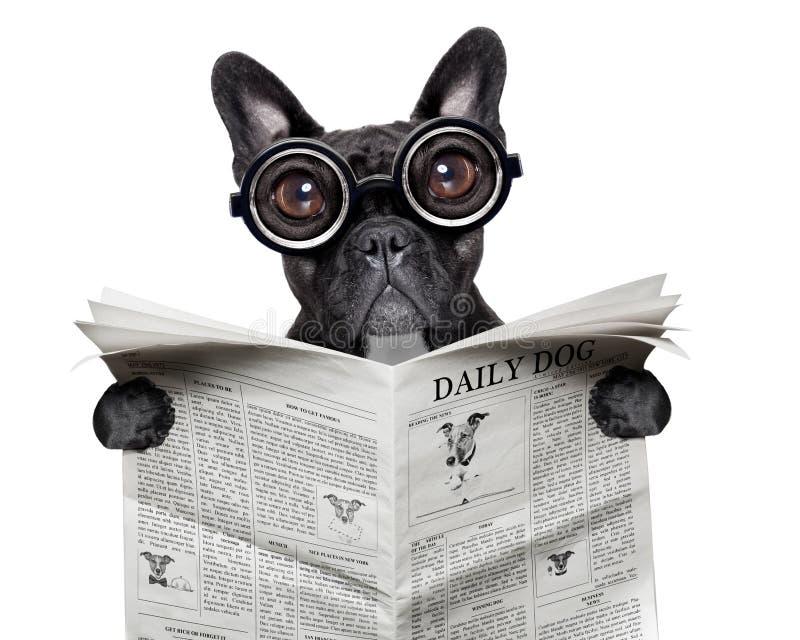 报纸牛头犬 图库摄影