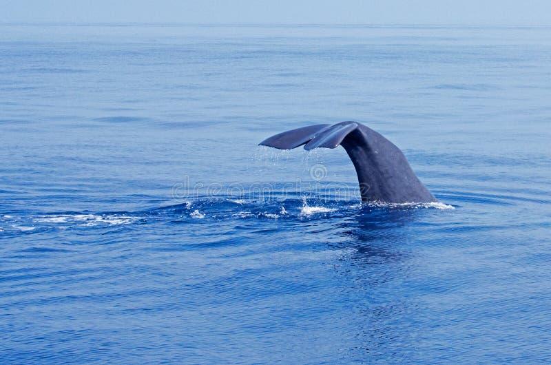 抹香鲸 免版税库存照片