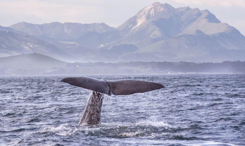 抹香鲸Kaikoura 免版税库存照片