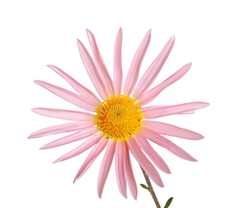 抽去与强壮的菊花一朵唯一桃红色和黄色花图片