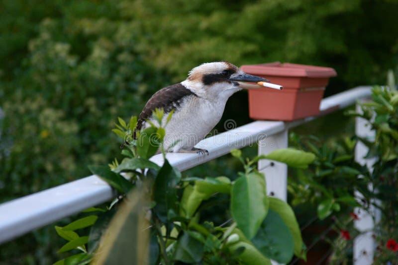 抽烟的Kookaburra 免版税库存照片