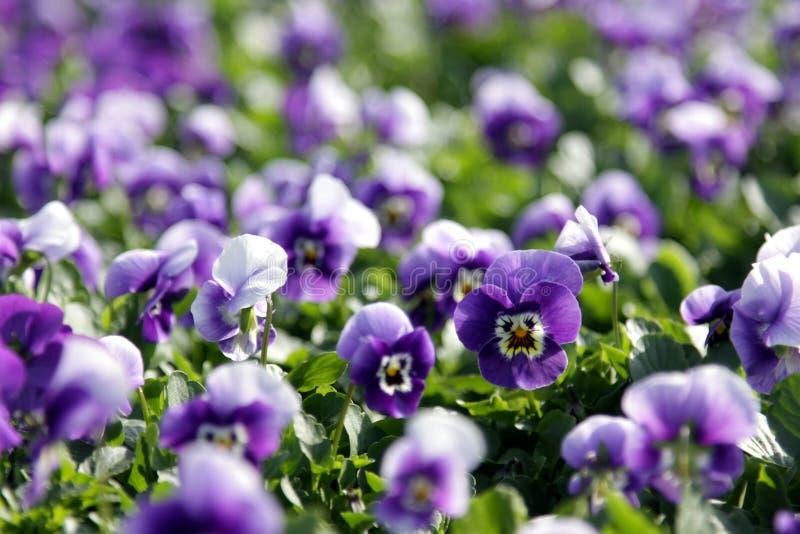 抽签紫色violas 免版税库存照片