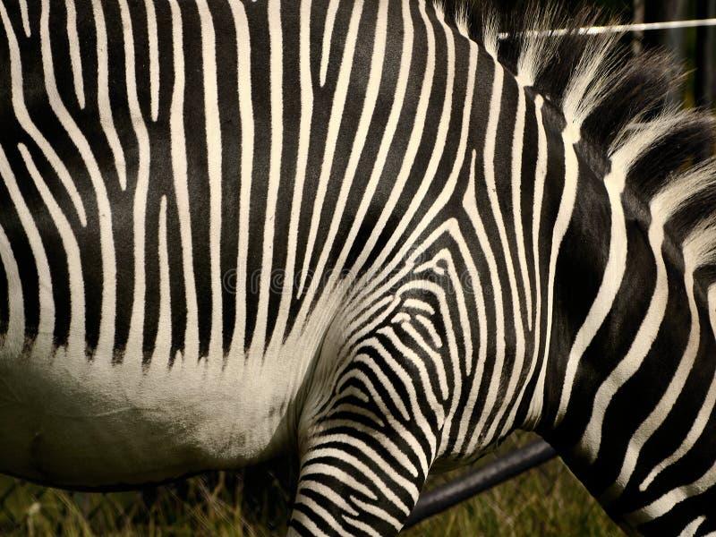 抽象斑马 免版税库存照片