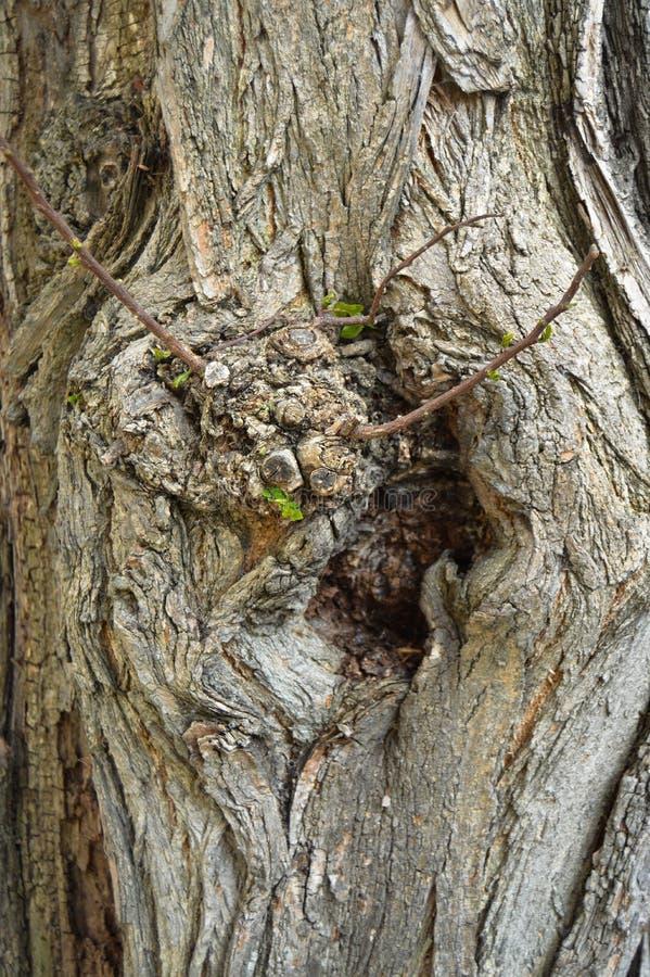 抽象木纹理吠声,金合欢树 库存图片