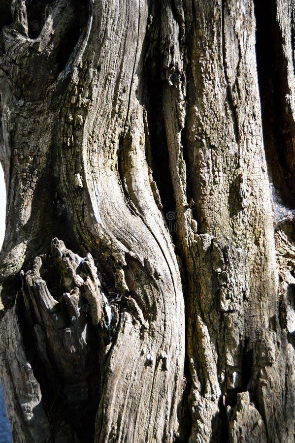 抽象木纹理吠声,金合欢树 图库摄影