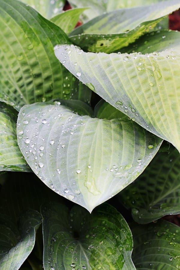 抽象玉簪属植物 图库摄影