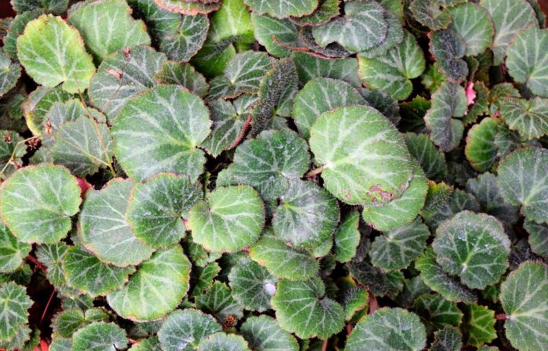 抽象绿色留下自然背景-虎耳草属植物Stolonifera -草莓秋海棠 库存图片