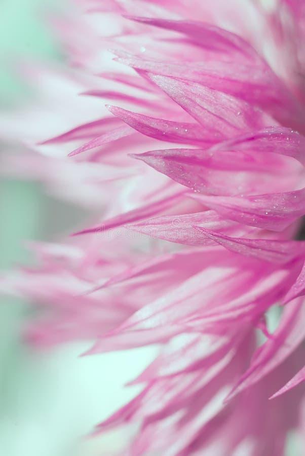 抽象美丽的桃红色花 免版税库存图片