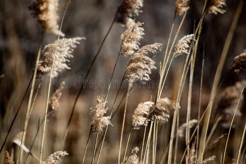 抽象背景保护春天下午布朗高草 免版税库存照片