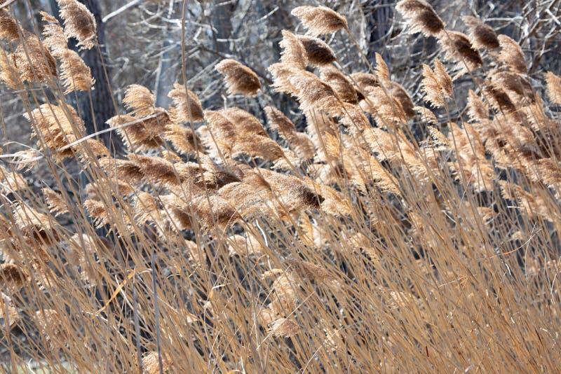 抽象背景保护春天下午布朗高草 库存图片