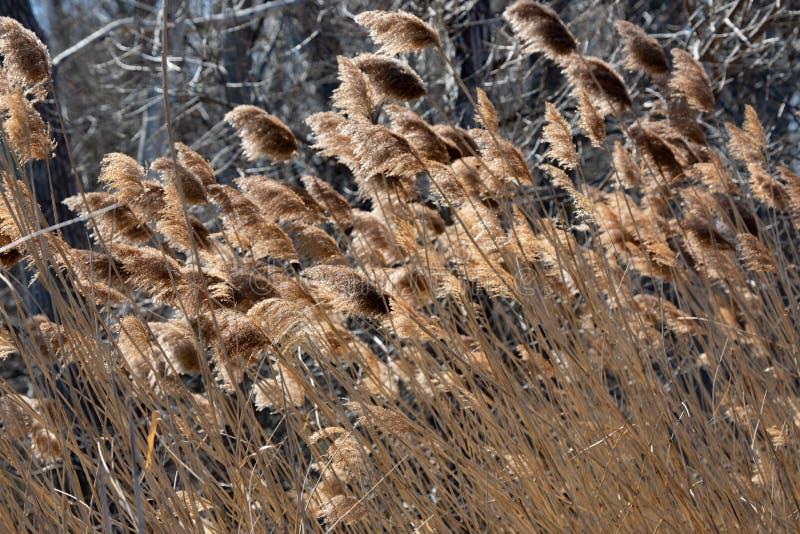 抽象背景保护春天下午布朗高草 图库摄影