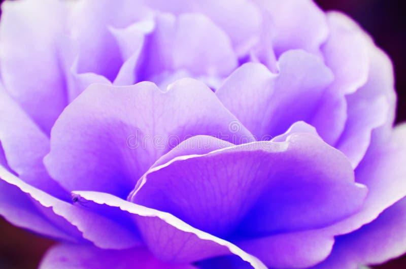 抽象背景易碎的软的紫罗兰色紫色淡紫色玫瑰花瓣 免版税库存图片