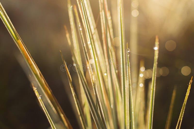抽象背景特写镜头草丛早晨时间金光和迷离 免版税库存照片