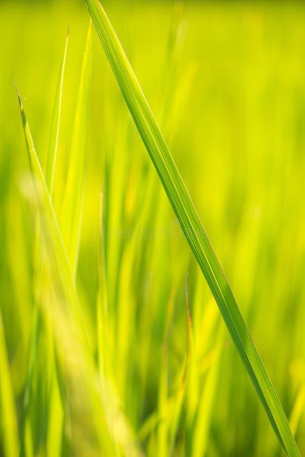 抽象背景绿色米叶子 库存照片