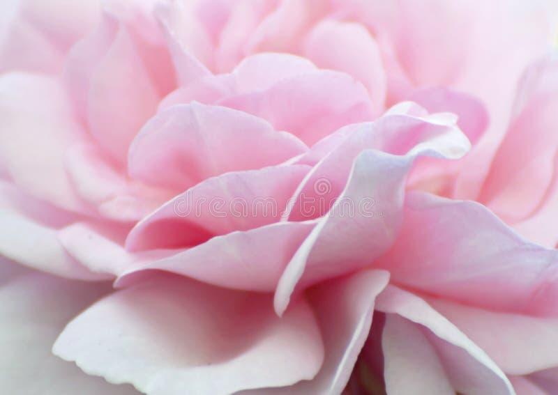 抽象背景软的苍白浅粉红色玫瑰花瓣贴墙纸 免版税库存照片