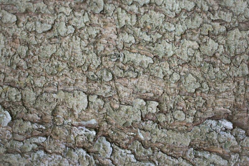 抽象背景:midaged云杉的树皮的纹理~35年 免版税库存图片