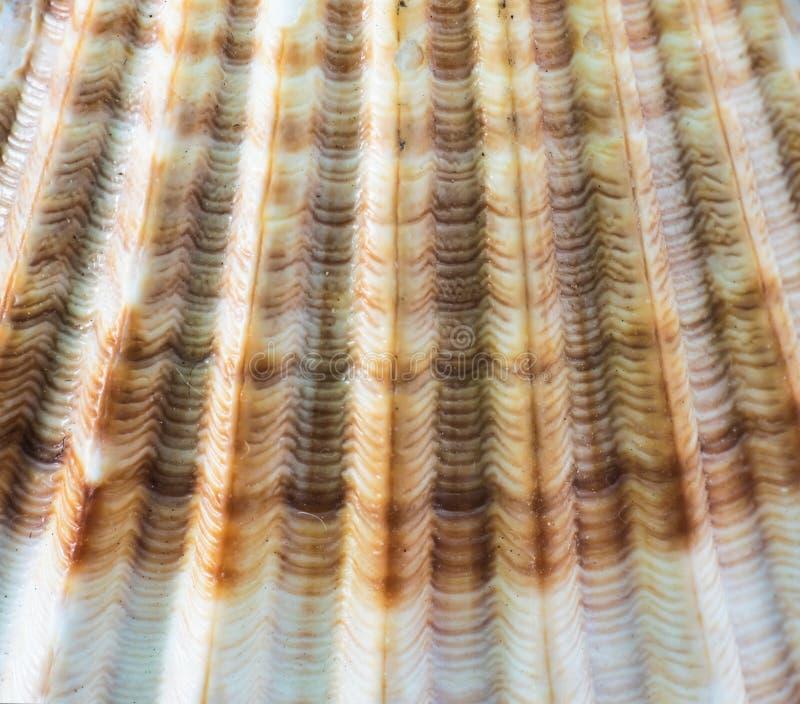 抽象背景-海壳特写镜头 免版税库存图片