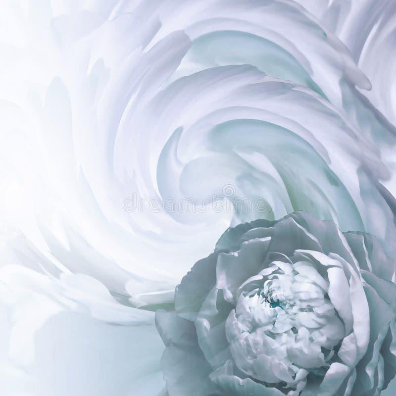 抽象花卉绿松石白的背景 一株轻的绿松石牡丹的花在扭转的瓣背景的  2007个看板卡招呼的新年好 免版税库存照片