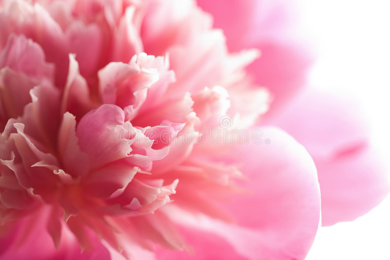 抽象花查出的牡丹粉红色 库存图片
