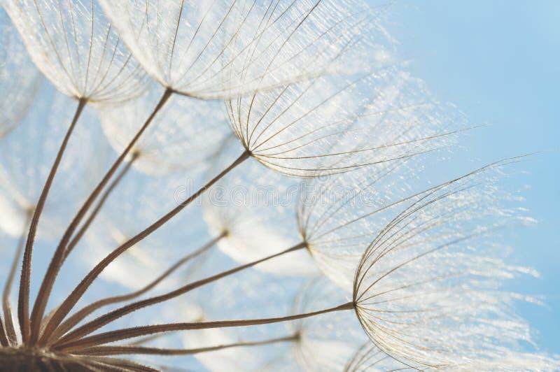 抽象蒲公英花背景,与软的焦点的特写镜头 图库摄影