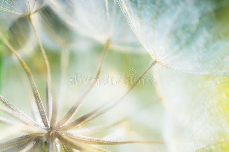 抽象蒲公英花背景,与软的foc的特写镜头 免版税图库摄影