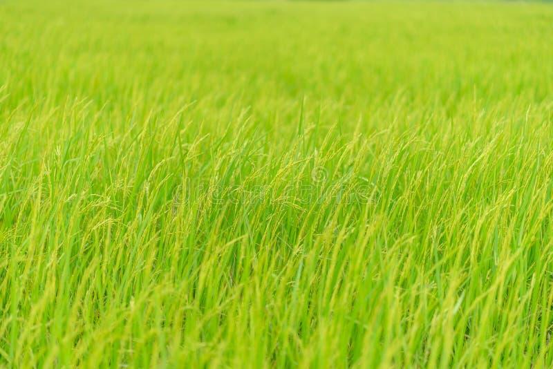 抽象迷离绿色米领域背景 免版税库存照片