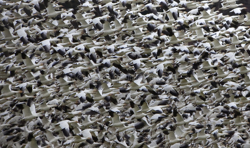 抽象飞行鹅雪千位 图库摄影