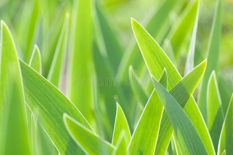 抽象绿色郁金香叶子背景 免版税库存照片