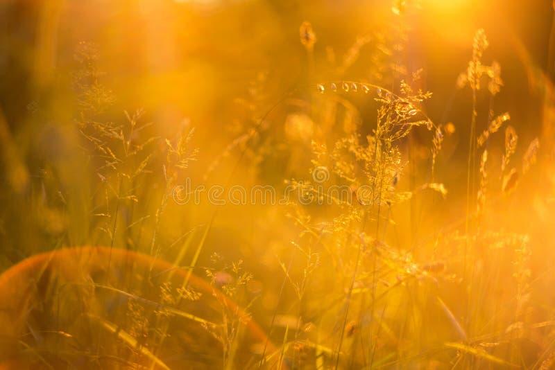 抽象bokeh弄脏了与野草和植物的自然背景在橙色阳光下 免版税库存照片