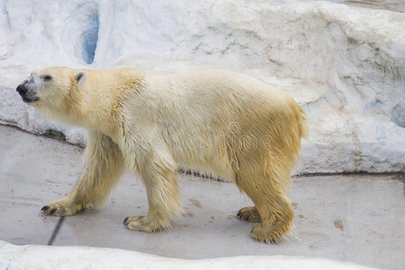 负担极性动物园 免版税库存图片
