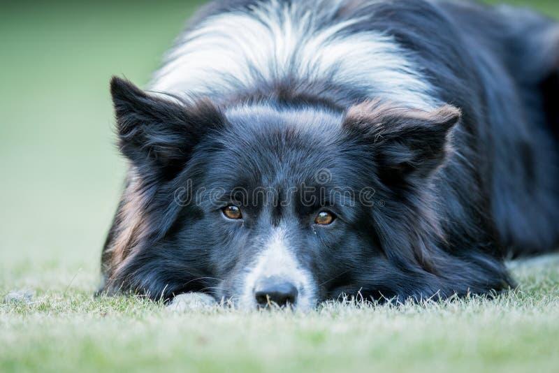 担任主角在照相机的博德牧羊犬狗 库存图片