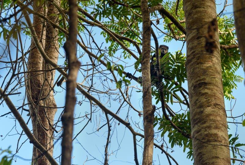 负担Cuscus (Ailurops ursinus)在树 库存照片