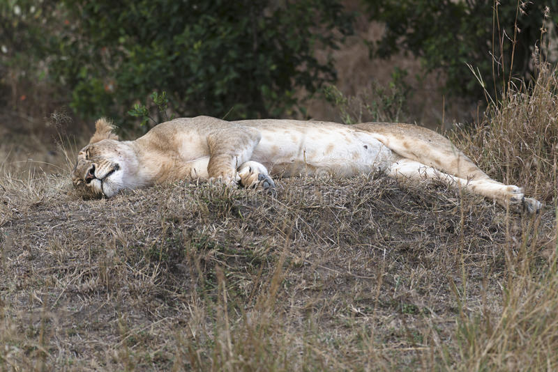 拉丁利奥雌狮名字panthera休眠 免版税库存照片