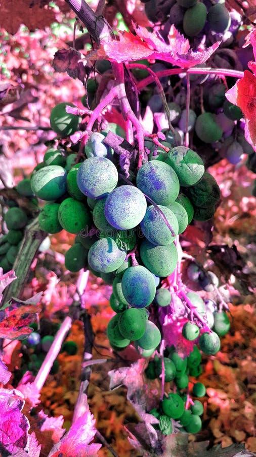 拉丁文葡萄的果子 免版税图库摄影