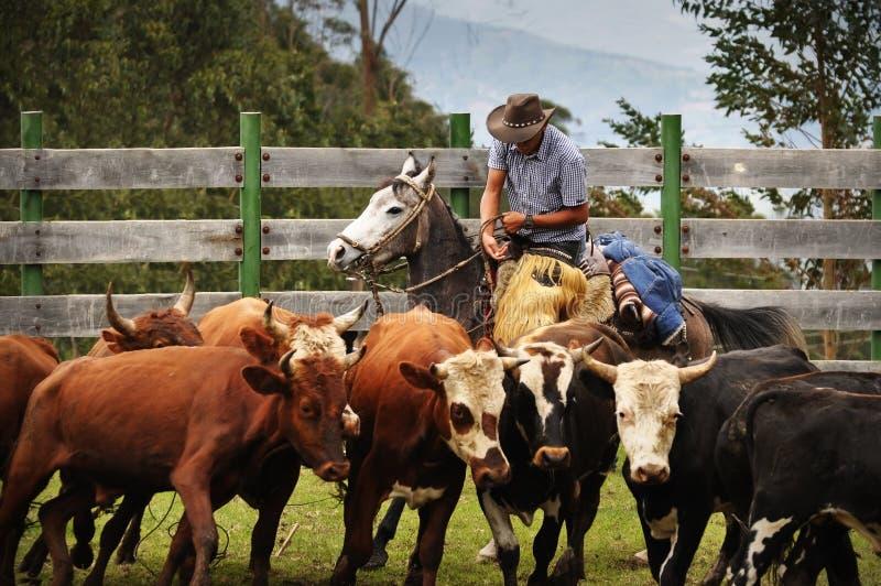 拉丁美州的牛仔工作的牛 免版税库存照片
