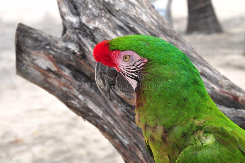 拉丁美洲的Ara金刚鹦鹉 库存照片