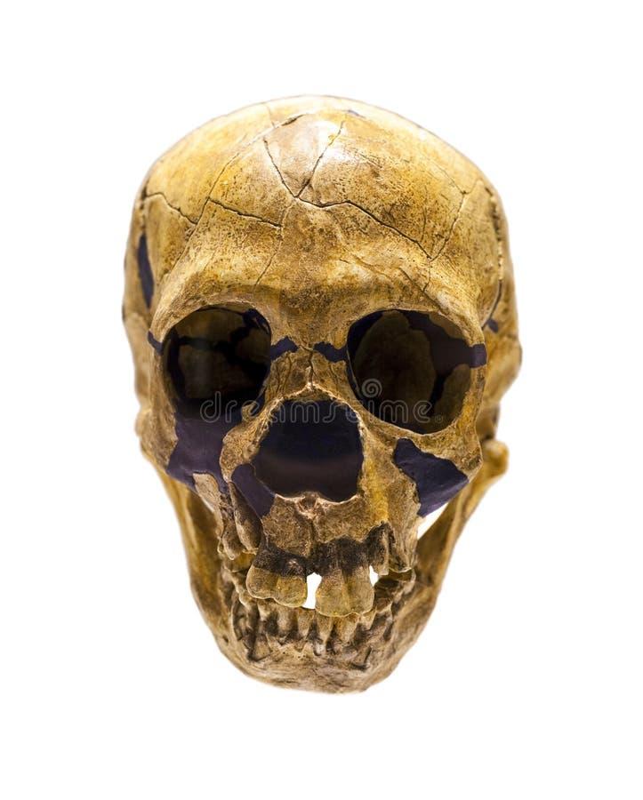 拉人Neanderthalensis的头骨 库存图片