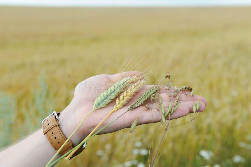 拉伊、燕麦、麦子和小黑麦在手的棕榈在过多的话的背景调遣 免版税库存照片
