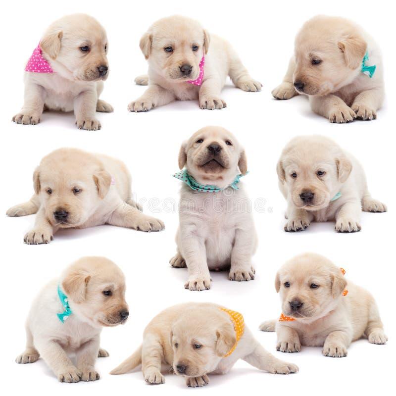 拉布拉多与五颜六色的围巾的小狗以各种各样的位置o 免版税库存照片
