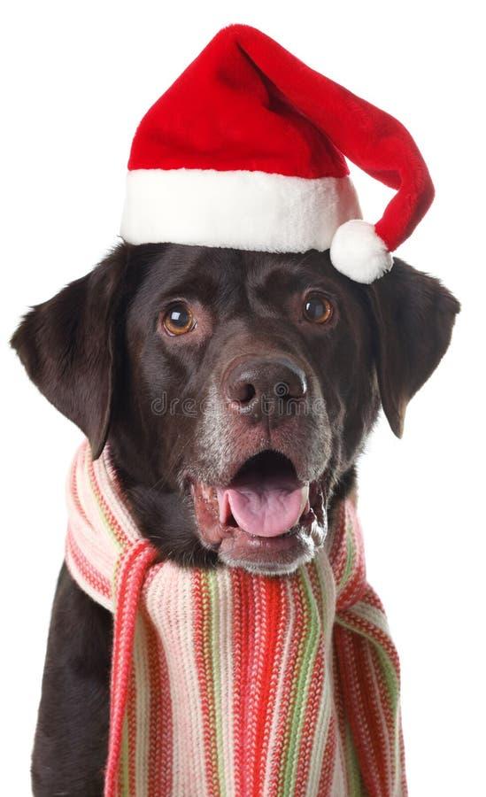 拉布拉多圣诞老人 库存图片
