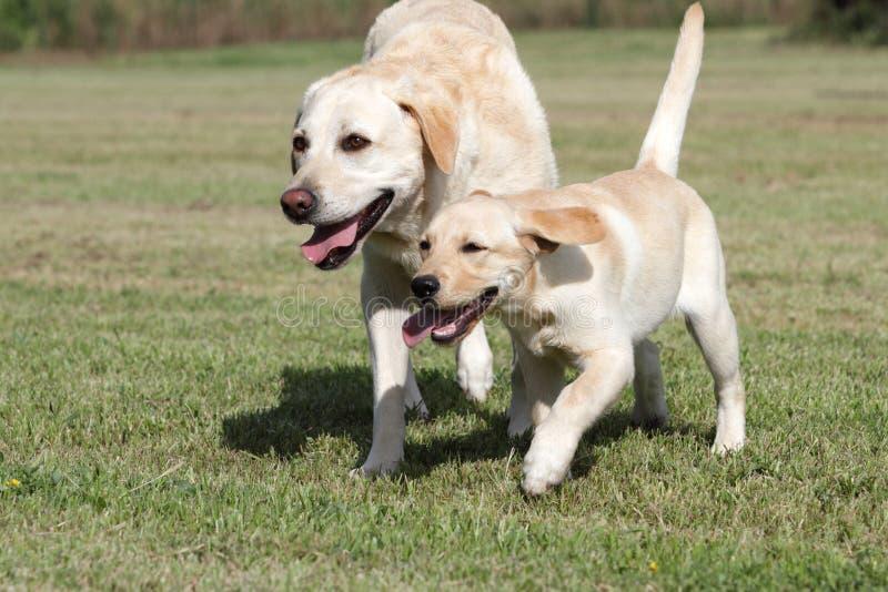 拉布拉多妈妈小狗 免版税库存照片
