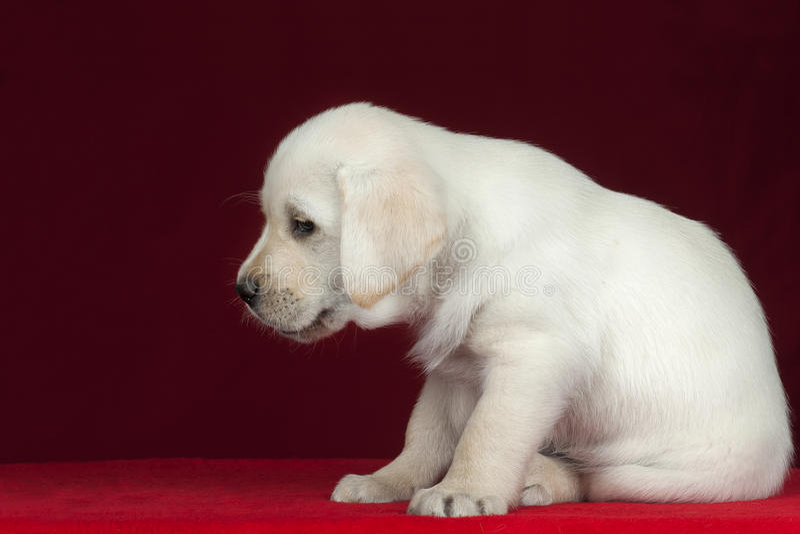 拉布拉多小狗。 免版税库存照片
