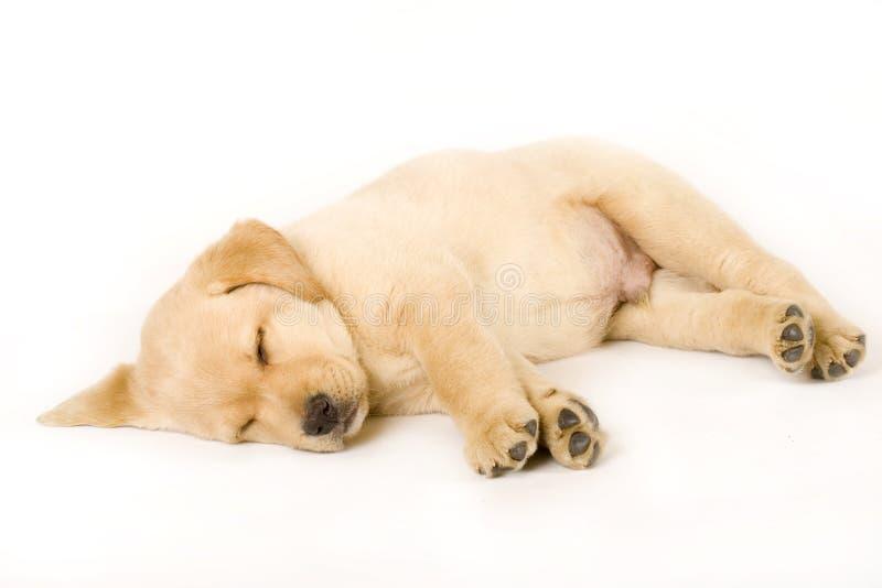 拉布拉多小狗猎犬休眠 库存图片