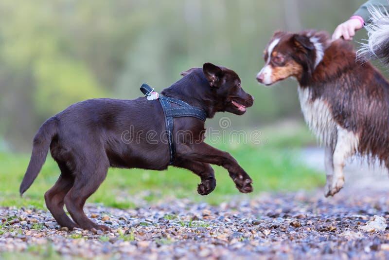拉布拉多小狗要使用与澳大利亚牧羊人 免版税库存照片