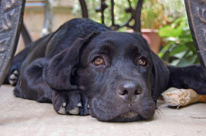 拉布拉多小狗 免版税库存图片