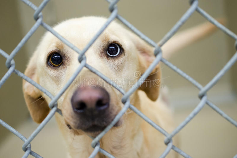 拉布拉多狗与一双蓝眼睛混合了在狗窝 免版税库存照片