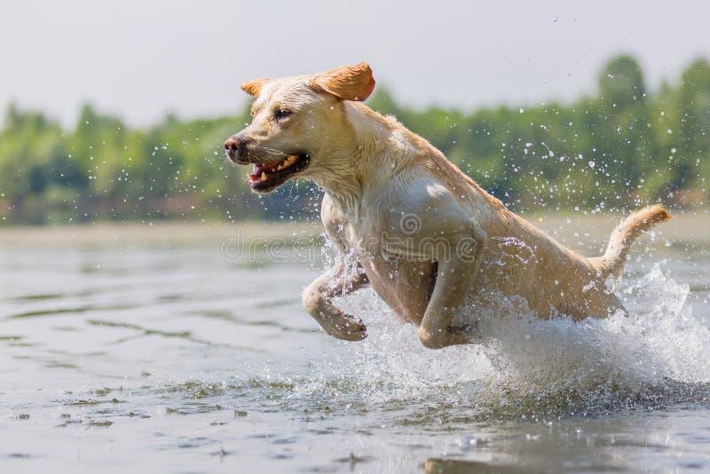 拉布拉多狗奔跑通过水 库存图片